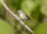 Western Olivaceous Warbler - Iduna opaca