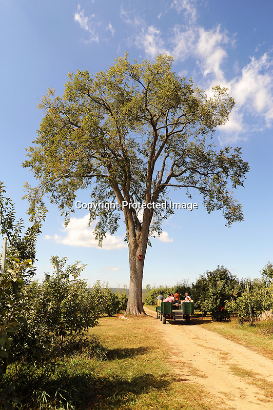 Wagon Riders under an old Elm Tree at the Apple Orchard in New Hampshire USA