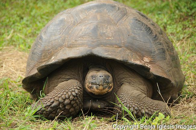 Galápagos giant tortoise (Chelonoidis nigra),over a patch of grass.
