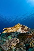 Broadclub cuttlefish, Sepia latimanus, Castle Rock, Komodo Island, Komodo National Park, Indonesia