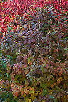 Shrub fall foliage - Viburnum 'Allegany'