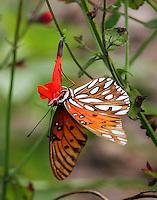 Female gulf fritillary