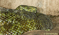 0430-1103  Mang Mountain Pit Viper (China Mangshan Pitviper), Only Non Cobra that Can Spit Venom, Zhaoermia mangshanensis (syn. Trimeresurus mangshanensis)  © David Kuhn/Dwight Kuhn Photography