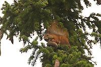 Eichhörnchen frisst Fichtenzapfen, Sciurus vulgaris, Red squirrel, Écureuil d´Europe