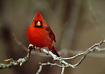Northern cardinal, Choke Canyon, Texas