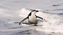 A chinstrap penguin surfs ashore in a mad dash to avoid the predators lurking in the ocean.