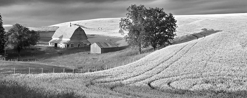 Barn and filed of canola with thunderstorm. The Palouse near Colfax, Washington