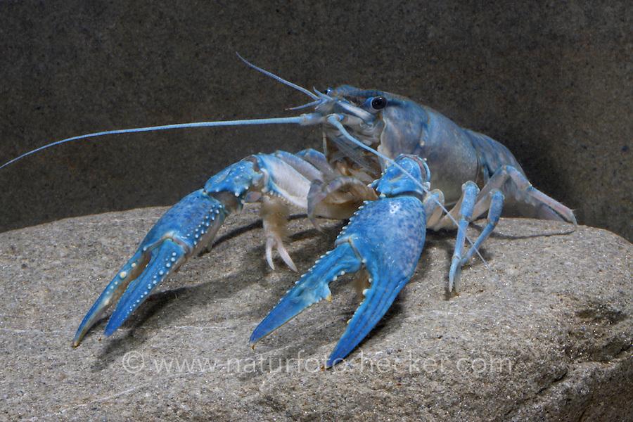 Kalikokrebs, Kaliko-Krebs, Kalicokrebs, Kalico-Krebs, Orconectes immunis, Calico crayfish, Papershell crayfish