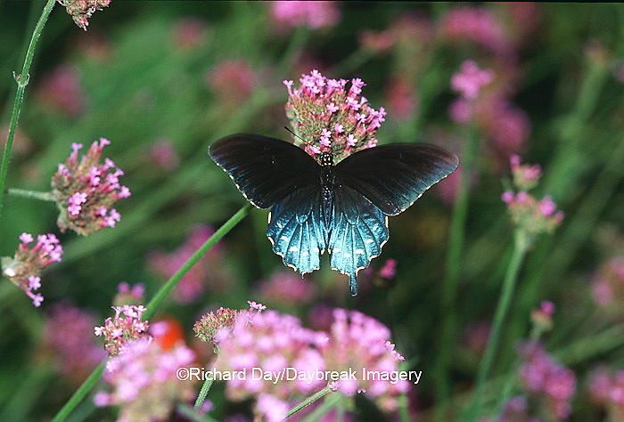 03004-00404 Pipevine Swallowtail (Battus philenor) on Verbena (Verbena bonariensis), Marion Co.  IL