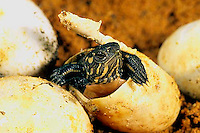 1R13-079z  Painted Turtle - young hatching from egg - Chrysemys picta