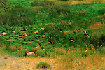 Elk cows and calves lay in the cool grass of a marsh on a summer afternoon in Yellowstone National Park, Wyoming.