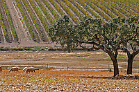 Dry, barren fields with oak trees. Vineyards. Sheep  grazing. Herdade da Malhadinha Nova, Alentejo, Portugal