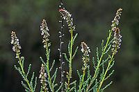 Deutsche Tamariske, Rispelstrauch, Myricaria germanica, German tamarisk, false tamarisk