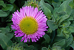 Seaside Fleabane (Erigeron glaucus), California, USA
