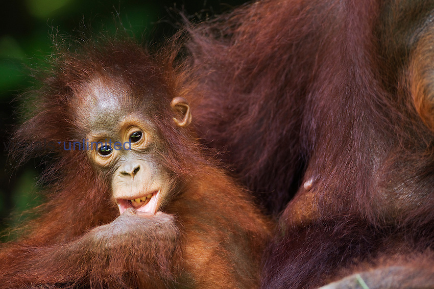 Petra, a young female Bornean Orangutan (Pongo pygmaeus wurmbii) aged 12 months, Camp Leakey, Tanjung Puting National Park, Central Kalimantan, Borneo, Indonesia. Rehabilitated and released (or descended from) between 1971 and 1995. Portrait take July 2010.