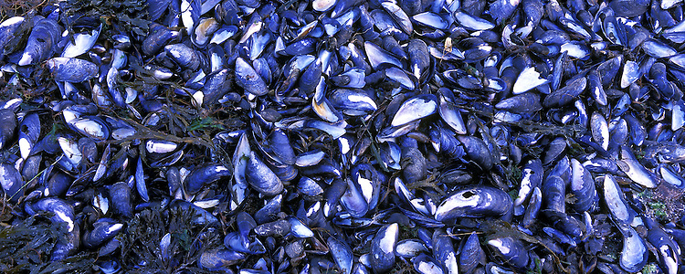 Mussel or Mytilus edulis. All around Iceland except on the south coast you will find this mussel or Bláskel in Icelandic. These series show the shells in four seasons, Fall, Winter, Spring and Summer.