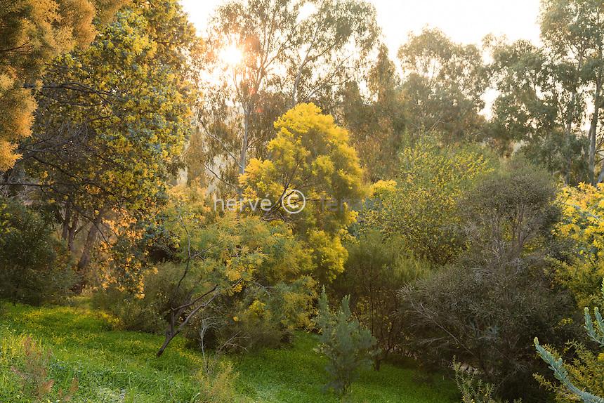 Le domaine du Rayol en f&eacute;vrier : mimosa (Acacia sp)<br /> dans le jardin australien.<br /> <br /> (mention obligatoire du nom du jardin &amp; pas d'usage publicitaire sans autorisation pr&eacute;alable)