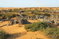Prosopis plantation
