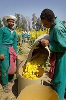 Egypte, Belbeis, 6 mei 2007..Sekem. Bloemenkinderen..In Egypte werken veel kinderen. Ook bij Sekem. Maar ze doen licht werk en krijgen in ruil ook onderwijs en goed te eten. Kinderarbeid, child labour. Kinderen plukken bloemblaadjes voor thee.Children work, picking flowers for tea...Foto (c) Michiel Wijnbergh.