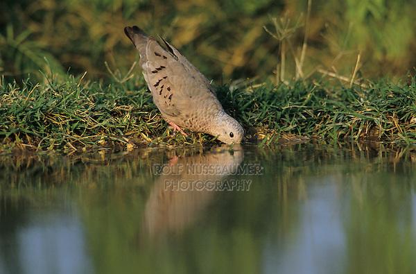 Common Ground-Dove, Columbina passerina,adult drinking, Starr County, Rio Grande Valley, Texas, USA, April 2002