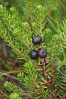 Schwarze Krähenbeere, Schwarze Krähen-Beere, Früchte, Empetrum nigrum, Black Crowberry, Camarine noire