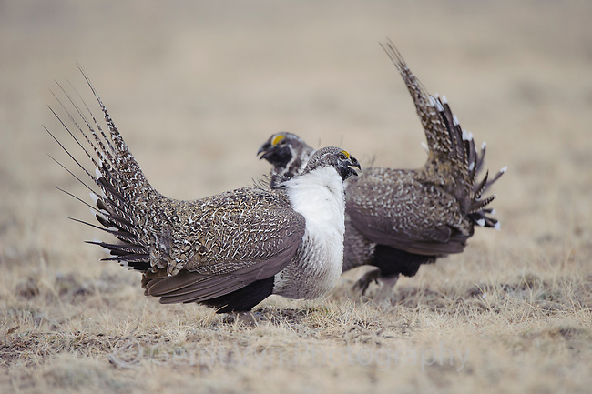 Male Greater Sage-Grouse (Centrocercus urophasianus) facing off on a lek. Sublette County, Wyoming. March.