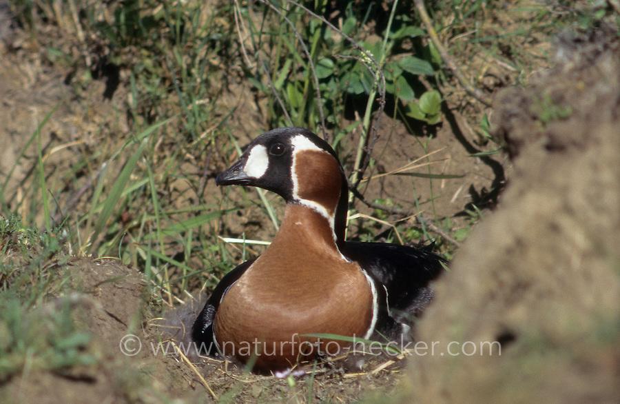 Rothalsgans, Rothals-Gans, Branta rufucoliis, red-breasted goose