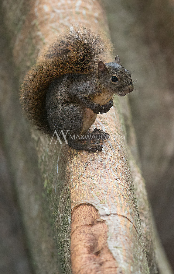 We saw red-tailed squirrels in a couple different locations during this trip.