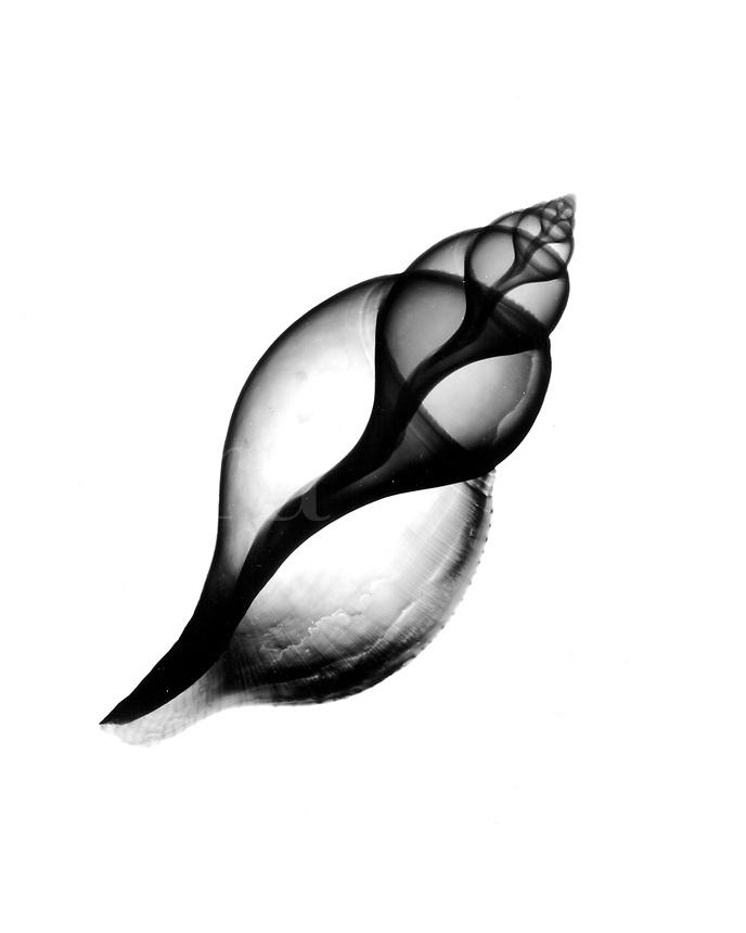 Xray Tulip shell