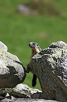 Young marmot crawling between two stones on a green background