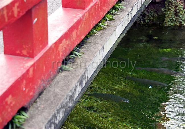 Fish swim in the clear waters of the sacred pond at Fujisan Hongu Sengen Taisha in Fujinomiya City, Shizuoka Prefecture Japan on 01 Oct. 2012.  Photographer: Robert Gilhooly