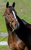 Texas Chrome, by Grasshopper, millionaire racehorse and young sire, at Keene Thoroughbreds in Arkansas.  March 2018.