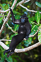 Young male crested black macaque sitting on branch,(Macaca nigra), Indonesia, Sulawesi, endangered species; Threatened through loss of habitat and bush meat trade, species only occurs on Sulawesi.