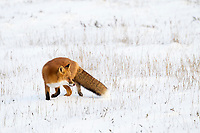 A red fox stands on the snow covered tundra of Alaska's Arctic North Slope