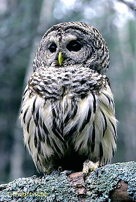 OW01-018z   Barred Owl - Strix varia