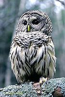 OW01-018z   Barred Owl - Strix varia