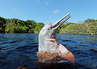 RB51216-D. Amazon River Dolphin (Inia geoffrensis) spyhopping, also called Boto or Pink River Dolphin. Rio Negro, Brazil, South America.<br /> Photo Copyright &copy; Brandon Cole. All rights reserved worldwide.  www.brandoncole.com