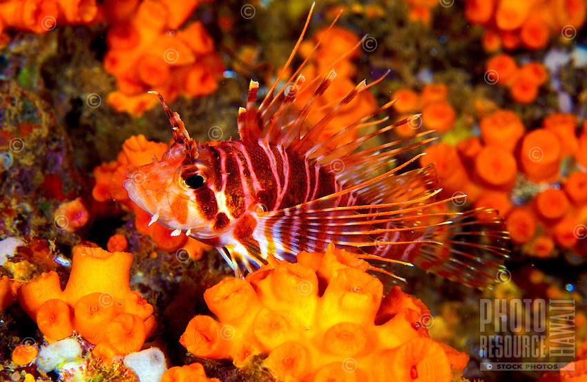 An Hawaiian Lionfish (Pterois sphex) is a colorful yet venomous reef fish. Look but don't touch.  Hawaiian name is Nohu Pinao.