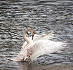Trumpeter Swan Cygnet flaps its wings in Yellowstone.