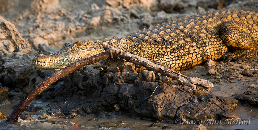 Nile Crocodile (Crocodylus niloticus) Chobe River