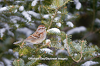 01588-00907 American Tree Sparrow (Spizella arborea) in fir tree in winter, Marion Co., IL