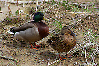 Male and Female Mallard Duck Standing Together