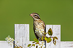 Female rose-breasted grosbeak perched on a backyard fence.