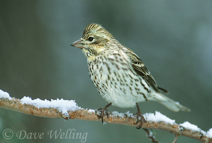 528710016 a wild adult female cassin's finch carpodacus cassini perches on a snow covered branch in madera canyon in southern arizona