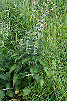 Urtica dioica weed Stinging Nettle's hairs contain histamine