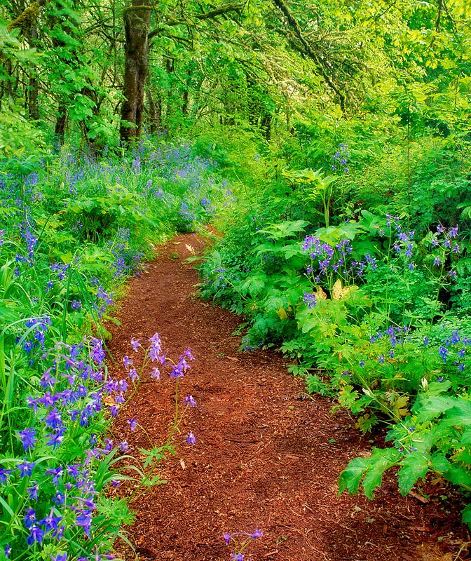 Pathway in Mount Pisgah Arboretum with blue flowers. (Delphinium trolliifolium) Oregon.