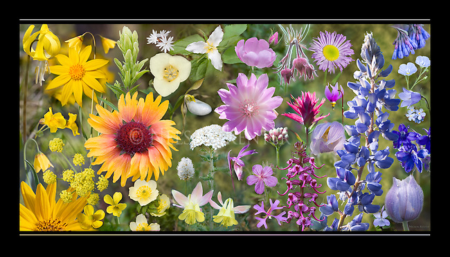 A collage of wildflower photos artfully arranged by color from yellows to whites, pinks, reds, blues and purples. Wildflower photography print is on archival linen paper. Flowers are native to  the northern Rocky Mountains