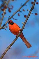 1J06-508z  Northern Cardinal male in winter, Cardinalis cardinalis