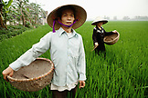 VIETNAM, Hanoi countryside, rice farmers Nguyen Huu Uc and Nguyen Thi Ha spread seed in their family rice field, Nguyen Huu Y village