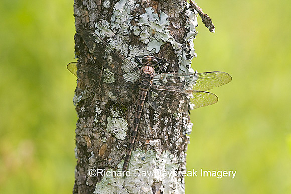 06340-001.08 Gray Petaltail (Tachopteryx thoreyi) perched on tree, Ripley Co.  MO
